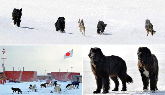 TBS開局60周年記念ドラマ「南極大陸」。日本の南極観測は 「 国際社会復帰の一大プロジェクト 」 になった。しかし、前人未踏の大陸は南極越冬隊に容赦なく牙をむいた。そんな越冬隊を支え心の拠り所になったのが、19頭の樺太犬だった。